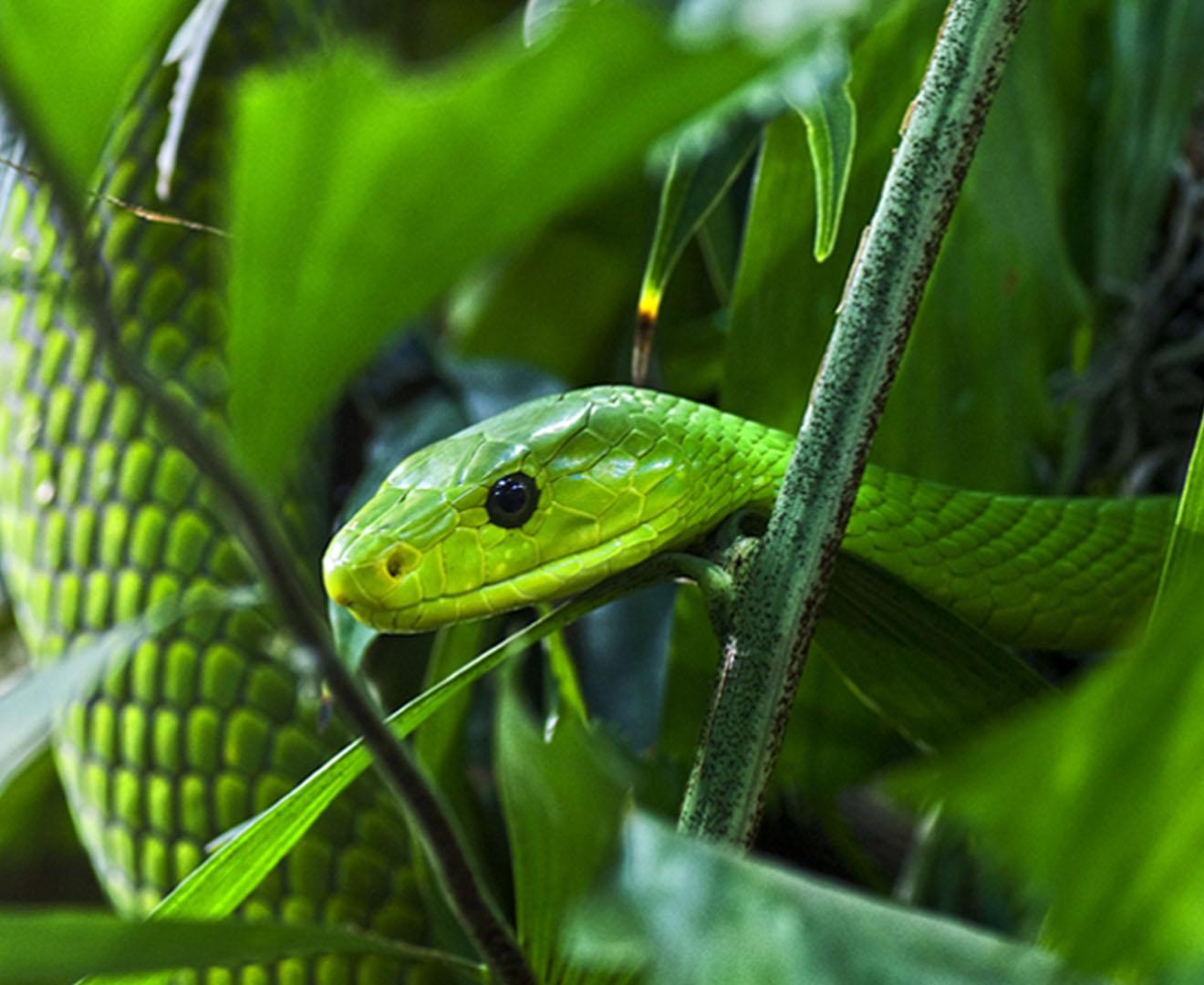Зеленая змеи черная мамба и