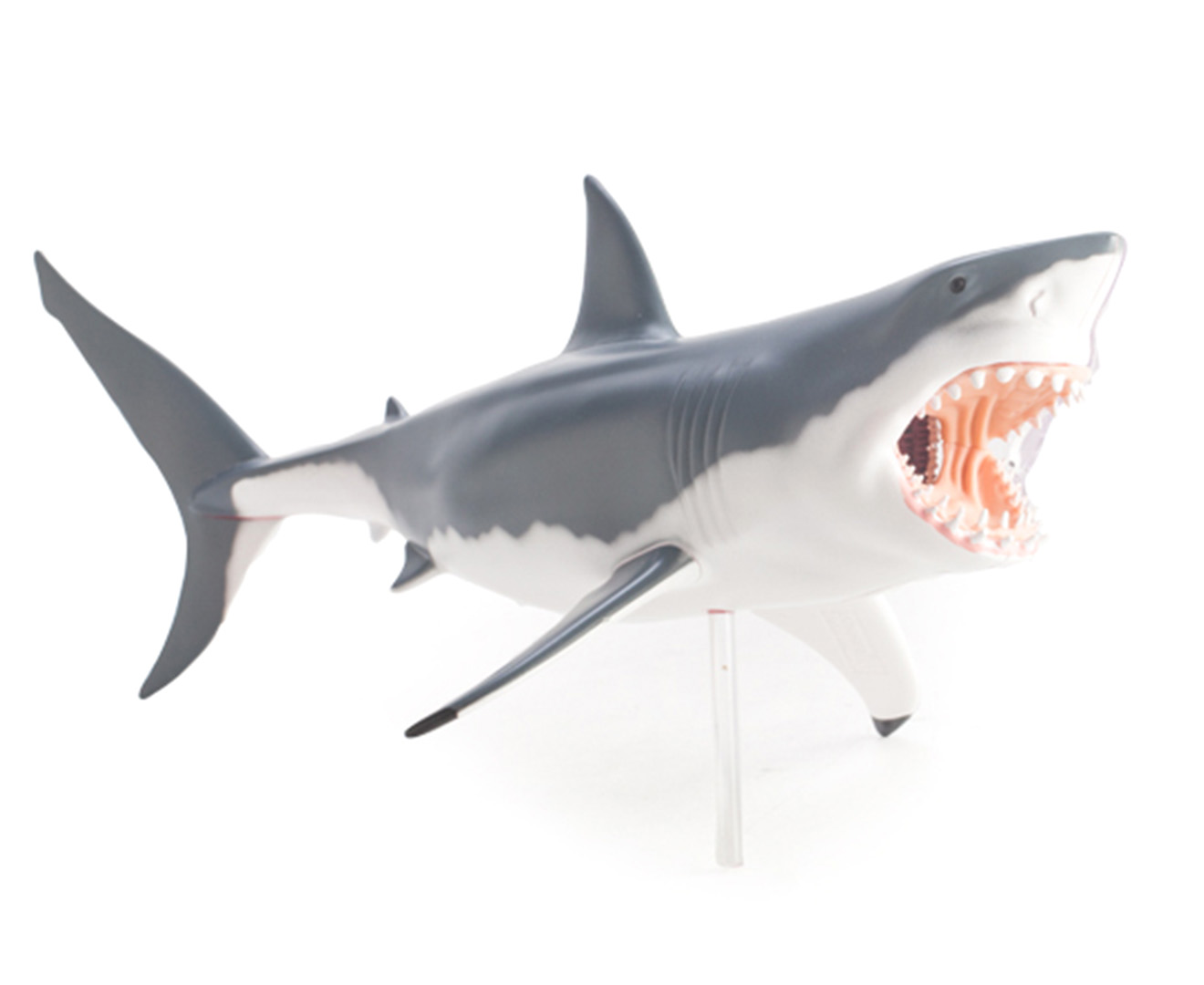 4D Vision - Great White Shark anatomy model | Catch.com.au
