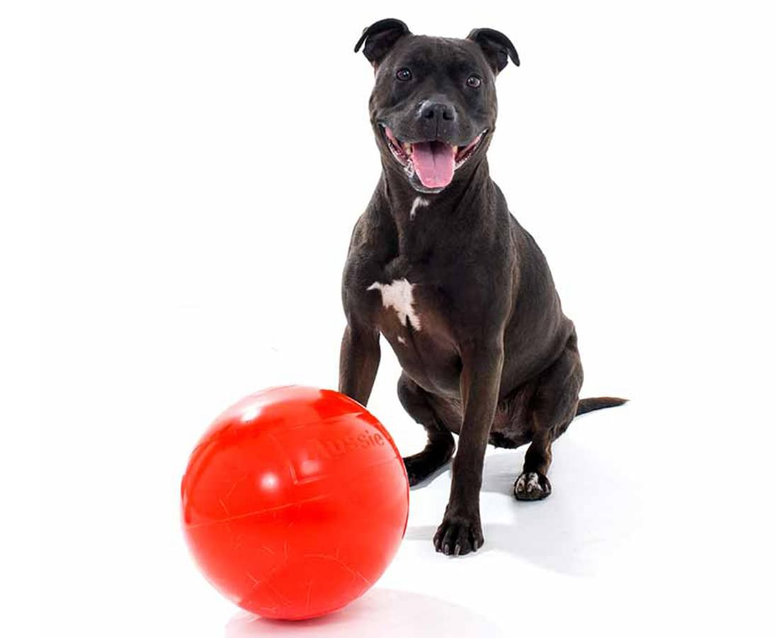 Staffy dog posing with a red ball